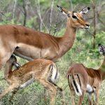 african-impala-rooibok-2-1347966-638x451